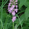 Large Purple Fringed (Platanthera grandiflora) at Hemlock Springs