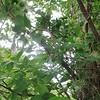Purple Clematis (Clematis occidentalis)