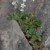 Three-toothed Cinquefoil (Sibbaldia tridentata)