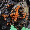 Yellow-fuzz Cone Slime (Hemitrichia clavata)