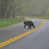 Bear crossing the road