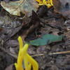 Spindle-shaped YellowCoral fungus (Clavulinopsis fusiformis)