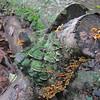 Mossy Maze (Cerrena unicolor) & Crowded Parchment (Stereum complicatum) Polypores
