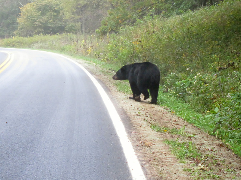 Bear beside the road