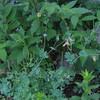 Pale Corydalis (Corydalis sempervirens)