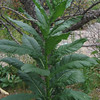 Pilewort (Erechtites hieraciifolia)
