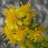 Rand's Goldenrod (Solidago simplex ssp. randii)