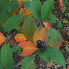 Black Chokeberry (Photinia melanocarpa)