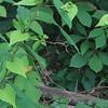 Black Bindweed (Polygonum convolvulus)