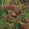 Red Chokeberry (Photinia pyrifolia)
