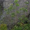 Quaking Aspen (Populus tremuloides) & Staghorn Sumac (Rhus typhina)