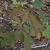 Sassafras (Sassafras albidum) with red-marked leaves