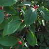 Smooth Winterberry (Ilex laevigata)