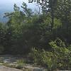 Quaking Aspen (Populus tremuloides) grove