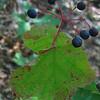 Mapleleaf Viburnum (Viburnum acerifolium)