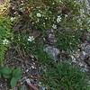 Mountain Sandwort or Greenland stitchwort (Minuartia groenlandica)