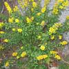 Goldenrod (Solidago spp.)