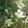 Greenland Stitchwort (Minuartia groenlandica)