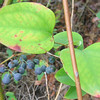 Common Greenbrier (Smilax rotundifolia)