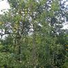 Bigtooth Aspen (Populus grandidentata)