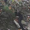 Timber Rattlesnake (Crotalus horridus) back end