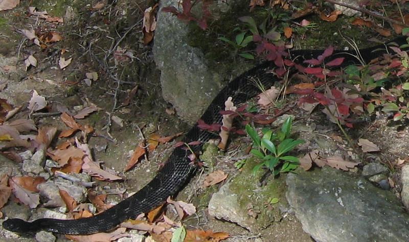 Timber Rattlesnake (Crotalus horridus) front end