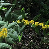 Wreath Goldenrod (Solidago caesia)