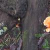 Jack-o-lantern mushroom (Omphalotus olivascens)