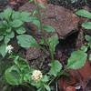 Silverrod (Solidago bicolor)