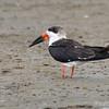Rynchops niger<br /> Talha-mar<br /> Black Skimmer<br /> Rayador - Pa'â guasu