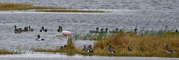 Canvasback, American Wigeons, Roseate Spoonbill