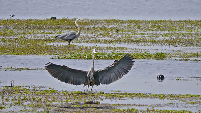 Great Blue Herons (courtship display)