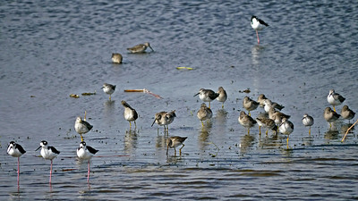 Black-necked Stilts, Greater Yellowlegs, Long-billed Dowitcher