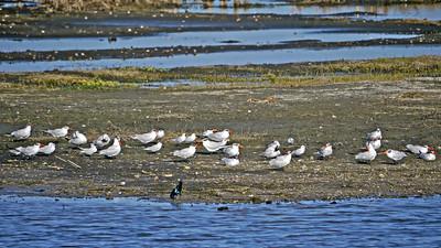 Caspian and Gull-billed Terns