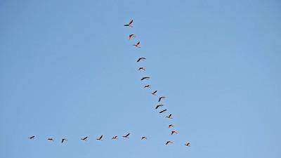 Flock of Roseate Spoonbills in the rising sun