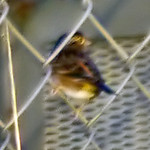 Grasshopped Sparrow (poor quality but documentary)