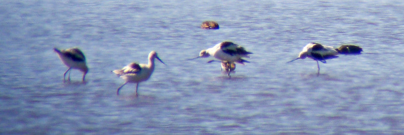 American Avocets (digiscoped)