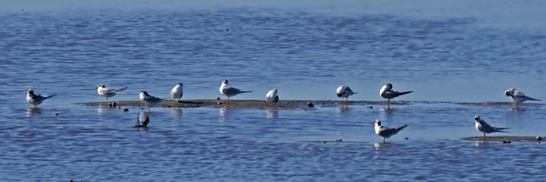 Gull-billed and Forster's Terns
