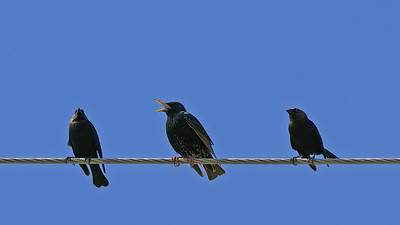 Brown-headed Cowbirds (left & right) with squacking Starling - Dump Marsh
