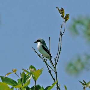 Loggerhead Shrike (Eagle Lakes Community Park)