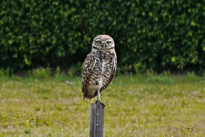 Burrowing Owl (Tigertail Beach access road)