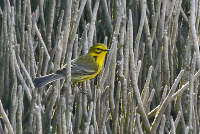 Prairie Warbler on Black Mangrove pneumatophores (Tigertail Beach)