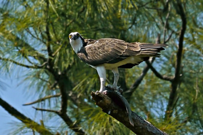 Osprey with lunch (Eagle Lakes Community Park)