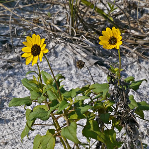 Beach Sunflower (Tigertail Beach)