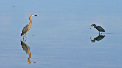 Reddish Egret, left; Little Blue Heron, right (Tigertail Beach)