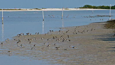 Tons of shorebirds (Tigertail Beach)