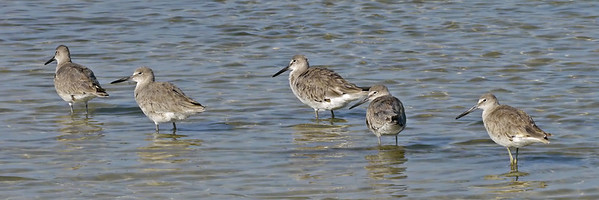 Willets (Tigertail Beach)