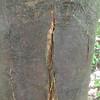 Big Chestnut 826A-1 canker