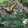 TigerSwallowtail butterfly (Pterourus glaucus) on Sweet-scented Joe-Pye Weed (Eupatorium purpureum)