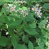 Lowries Aster (Symphyotrichum lowrieanum)